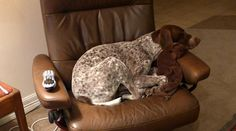 German Shorthaired Pointer in chair