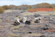 Albatrosse auf Española | Galapagos Reise  solecu.de/Galapagos.htm