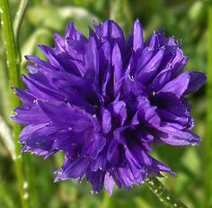 cornflower flowers photos - Google Search