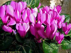 Cyclamen 5 (rose) - Le Cannet