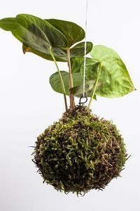 Moss Ball Hanging