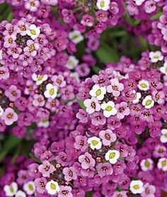 Royal Carpet Alyssum Seeds and Plants - Annual Flower Garden - Burpee Container Plants, Container Gardening, Gardening Tips, Vegetable Gardening, Organic Gardening, Indoor Gardening, Indoor Plants, Alyssum Flowers, Organic Horticulture