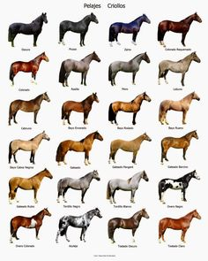 Argentine Criollo horse colour and their names in Argentina. veterinaria y zootecnia