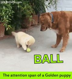 The attention span of a Golden puppy.