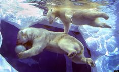a 9-month old 160-pound polar bear cub swims with her mother