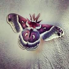 Image result for purple moth