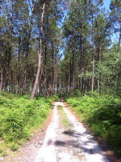 Chemin à travers les pins  #landes #guidedeslandes