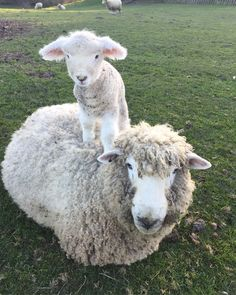 Rock Creek Romney's ·· Nose and her little lady ·· #romneysheep #romneyewe #romneylambs #sheepmoments