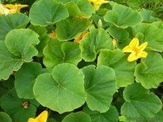 Dynia przycięta w czerwcu (V) lepiej się rozkrzewia. Dobrze ją przyciąć jeszcze raz w połowie sierpnia (VIII), by owoce były większe. Fot.… Orchids, Plant Leaves, Plants, Gardening, Sad, Crochet, Gardens, Lawn And Garden, Ganchillo
