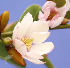 Buy fairy magnolia Magnolia 'Fairy Magnolia Blush 'MicJur01'': Delivery by Crocus.co.uk