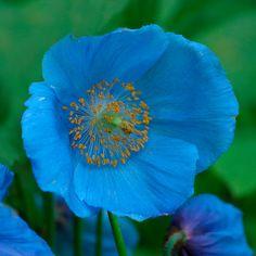 ~~ Himalayan Blue Poppy ( Meconopsis betonicifolia) ~~