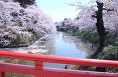 531:「朱色の大橋越しに春爛漫の桜の景色が広がっており、 晴れ晴れとした気持ちになりました。」@弘前公園