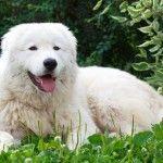 perro pastor de maremma