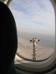 You got giraffed!