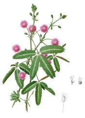 Mimosa pudica is known as Sensitive Plant for its ability to quickly close its leaves when touched. Discover how to sow Sensitive Plant seed, and grow this ticklish plant indoors. Mimosa Plant, Le Mimosa, Mimosas, Plant Illustration, Botanical Illustration, Mimosa Pudica, Sensitive Plant, Plant Tattoo, Flower Shops