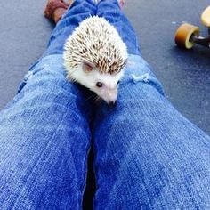 ♥ Small Pet Care ♥ Picture of How To: Litter Box Train Your Hedgehog Hedgehog Care, Pygmy Hedgehog, Baby Hedgehog, Animals And Pets, Baby Animals, Cute Animals, Animals Beautiful, Funny Animals, Sweet Little Things