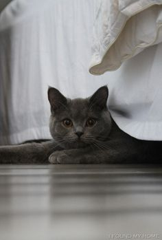 Cats and Kittens ( Animal Gato, Amor Animal, Blue Cats, Grey Cats, I Love Cats, Cool Cats, Chartreux Cat, Cool Cat Trees, Photo Chat