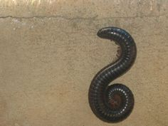 My mother was surprisingly calm when we brought these to her in cupped hands - we were like cats bringing in prey. Millipedes, South Afrika, Cupped Hands, Kwazulu Natal, The Beautiful Country, African Animals, Zimbabwe, Afrikaans, The Good Old Days