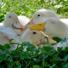 Rescued ducks bask in sunlight. Don't they look happy?
