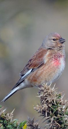 The common linnet (Carduelis cannabina) is a small passerine bird of the finch family, Fringillidae. It derives its scientific name from its fondness for hemp and its English name from its liking for seeds of flax, from which linen is made. Most Beautiful Birds, Natural Instinct, Finches, Bird Perch, Linnet, All Nature, Buntings, Little Birds, Colorful Birds