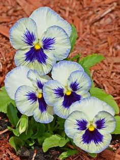White and Blue Pansies