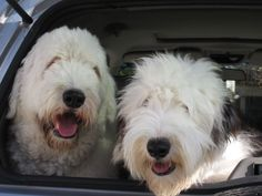 Old English Sheepdogs - how can we look at this and not SMILE ?!