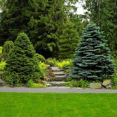 Two spruces stand ready to usher visitors into a hillside garden of slow-growing conifers and alpine plants. The evergreens are just big eno.