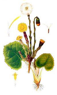 Podbeľ liecivý - Tussilago farfara L.