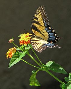 Tiger Butterfly on Lantana