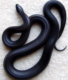Pretty Snakes, Beautiful Snakes, Cute Reptiles, Reptiles And Amphibians, Baby Animals, Funny Animals, Cute Animals, Mexican Black Kingsnake, Dream Snake