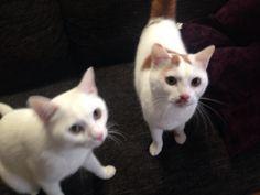 Umi Tama treat!  #cat #pet #petsitter #setagayaku #cute #かわいい #猫 #白猫