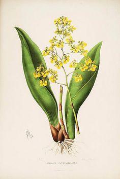 001- Orquideas de Mexico y Guatemala 1