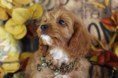 View our current litter of Cavachon and Cavapoo puppies with their beauiful pictures and descriptions. If you look closely, you may see one winking at you! Cavapoo Puppies For Sale, Cavachon Puppies, Cute Pictures, Dogs, Animals, Animales, Animaux, Doggies, Cute Photos
