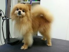 I looooove doing comb cuts on poms, and it was the first time I've done this guy. His clip is longer than it looks, he's just a TINY little guy, 3-4lbs. I fixed that part sticking up by his ear after the picture.