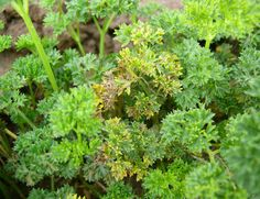 Septoria leaf spot on curled-leaf parsley. Parsley, Garden Ideas, Herbs, Leaves, Kitchen, Plants, Cooking, Kitchens, Herb