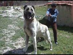 Turkhiş dog - Kangal