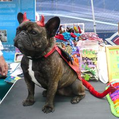 'Devil Dog', French Bulldog in costume