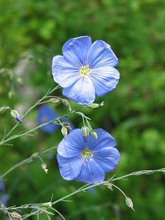 Gemeiner Lein (Linum usitatissimum) - Wikipedia