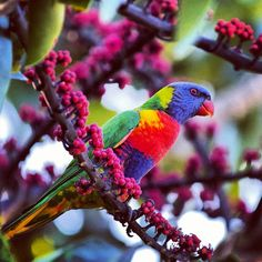 Rainbow Lorikeet at Royal Botanic Gardens, Sydney, Australia Blue Mountain, Sydney Australia, Botanical Gardens, Rainbows, Melbourne, Birds, This Or That Questions, Photos, Instagram