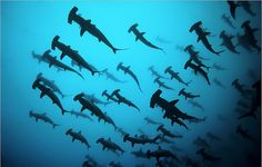 Migration of the hammer head sharks. i will witness this one day.