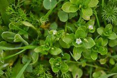 Morugem  Stellaria media  família das Caryophyllaceas.  Num típico dia de inverno, chuvoso, cinzento e frio, a minha planta  da semana só...