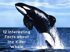 #EnvironmentalAppreciation – 12 Interesting Facts about the Killer Whale