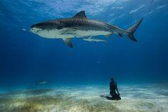 almasurf.com Mergulho com os tubarões-tigre em Bahamas