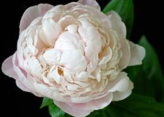 flower photography flower photograph fine art photography nature wall art print wall decor, Blush Pink Peony on background Etsy SarahHollander