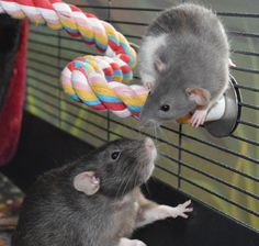 **Ok I've been meaning to do this for awhile as a way to catalog all my rat toy ideas! I hope you enjoy it and feel free to add things to this list** Rats are intelligent animals-. Diy Rat Toys, Rat Cage Accessories, Rat Care, Les Rats, Fancy Rat, Cute Rats, Pet Supply Stores, Diy Stuffed Animals, Guinea Pigs