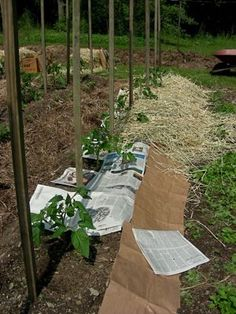 Newspaper / Cardboard and straw. Keep down the weeds around your tomatoes.