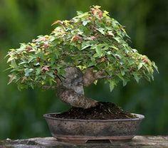 Bonsai Tree Care, Bonsai Art, Maple Bonsai, Acer, Addiction, Plants, Plant, Planets