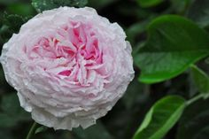 Daniel Schmitz Roses - rosiers anglais - roses anciennes