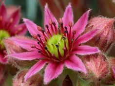 Google+ Sempervivum Tectorum - Hens and Chicks thanks again World of Flowering Plants!