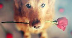 Deze honden zijn helemaal klaar voor Valentijnsdag. Jouw hond ook? Wellicht hebben wij nog leuke ideeën voor je.